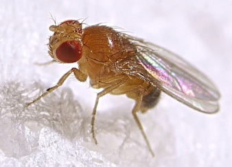 fruit_fly-4e84791-intro